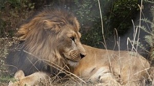 ABC- Ethiopia's lions at risk of dying out